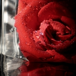 Ama as tuas rosas