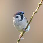 my wonderful world, tree sparrow