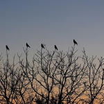 Crows communication