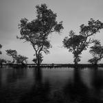 Galau Trees
