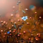 blue flower's,blues___