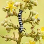 Tree of caterpillar