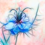 Blue fractal nigella