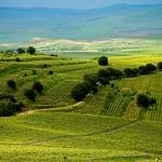 romanian wineyard