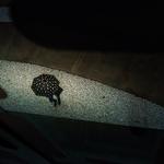 Pois umbrella