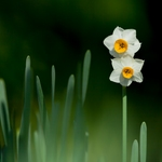 A Winter Narcissus