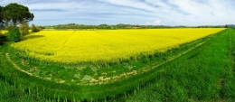 Pano of a Field of Oil Seed Rape