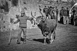 Passeando o gado