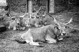 Vacas barrosãs
