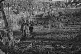 Plantando cebolo