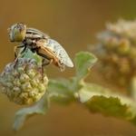 The Fruitfly