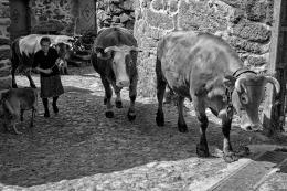 Guardadora de vacas...